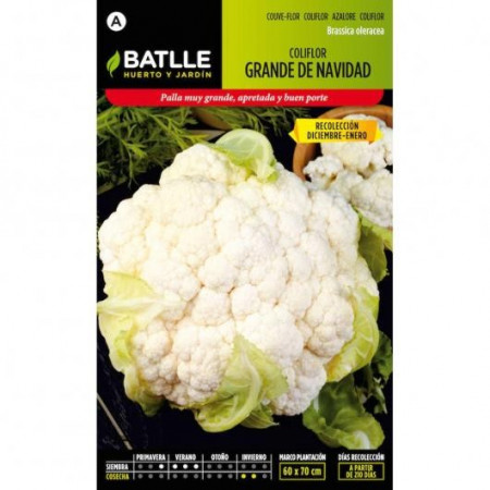 BIG CHRISTMAS CAULIFLOWER