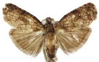 Ecdytolopha Aurantiana