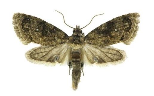 Argyroploce Leucotreta