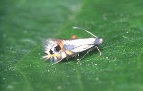 Cemiostoma (Leucoptera)Scitella