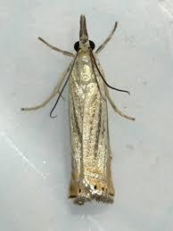 Chrysoteuchia Topiaria