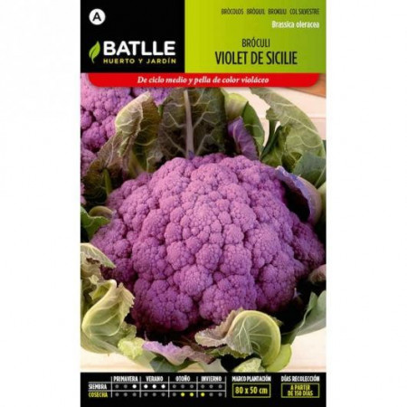 VIOLET BROCCOLI FROM SICILIE