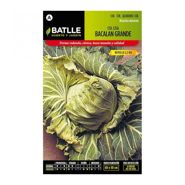 BIG CABBAGE BACALAN